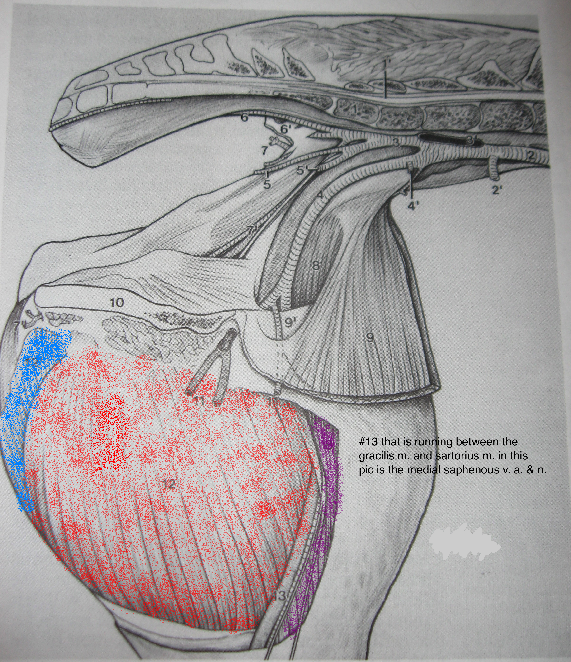 Groin Muscle Injuries Anatomy Dr Mel Newton